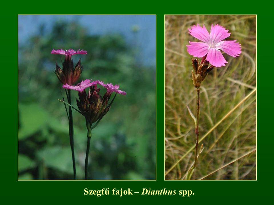 Szegfű fajok – Dianthus spp.