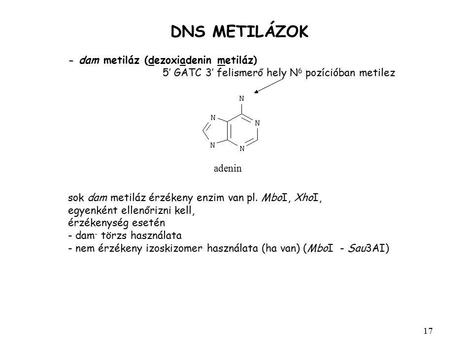 17 DNS METILÁZOK - dam metiláz (dezoxiadenin metiláz) 5' GATC 3' felismerő hely N 6 pozícióban metilez adenin sok dam metiláz érzékeny enzim van pl. M