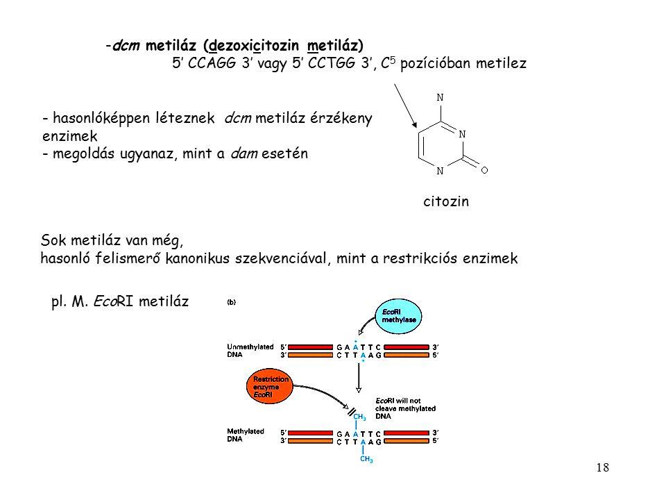 18 -dcm metiláz (dezoxicitozin metiláz) 5' CCAGG 3' vagy 5' CCTGG 3', C 5 pozícióban metilez citozin - hasonlóképpen léteznek dcm metiláz érzékeny enz