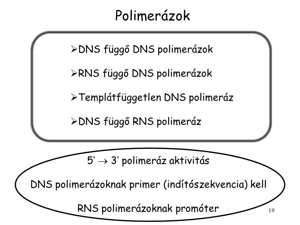 19 Polimerázok 5'  3' polimeráz aktivitás DNS polimerázoknak primer (indítószekvencia) kell RNS polimerázoknak promóter  DNS függő DNS polimerázok 