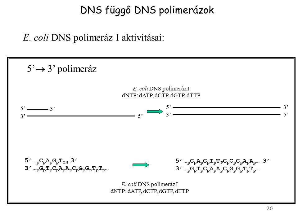 20 DNS függő DNS polimerázok E. coli DNS polimeráz I aktivitásai: 5'  3' polimeráz 5'5' 5'5' 3' 5'5' 5'5' 5'… p C p A p G p T OH 3' 3'… p G p T p C p