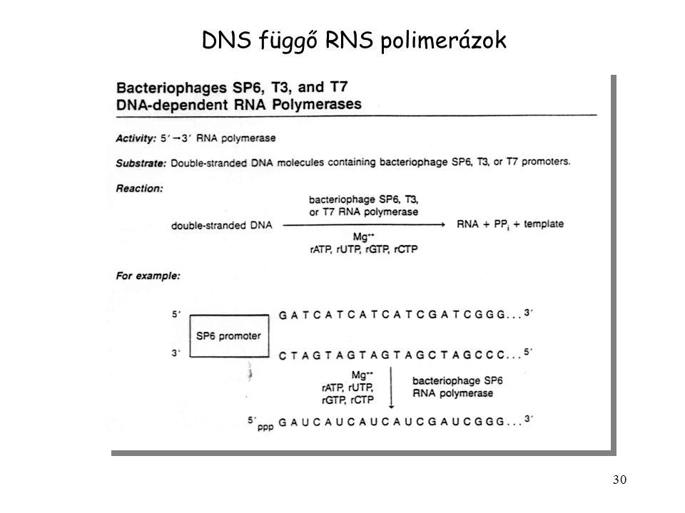 30 DNS függő RNS polimerázok