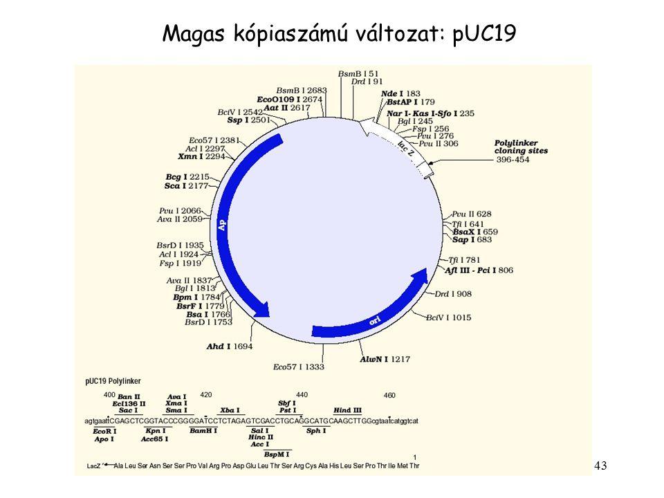 43 Magas kópiaszámú változat: pUC19