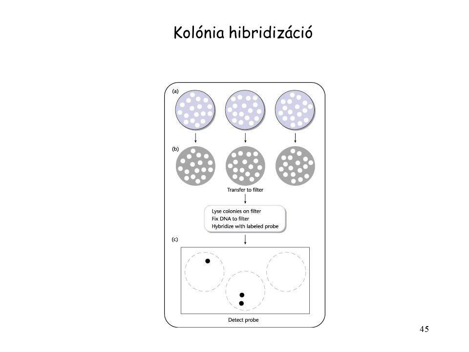 45 Kolónia hibridizáció