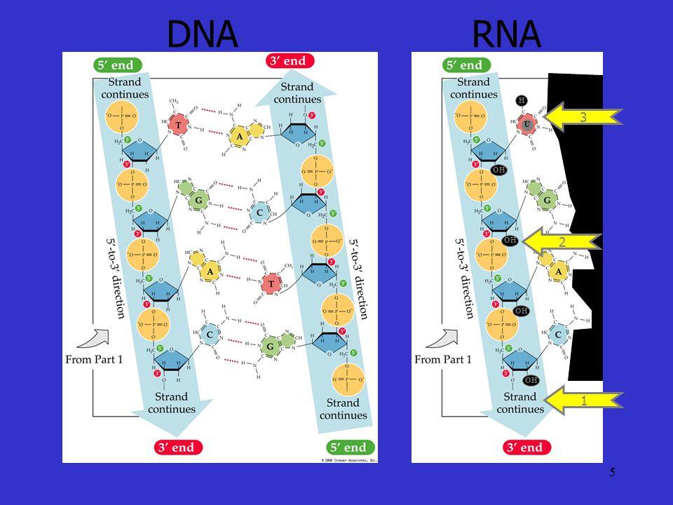 5 DNARNA 1 OH 2 U H 3