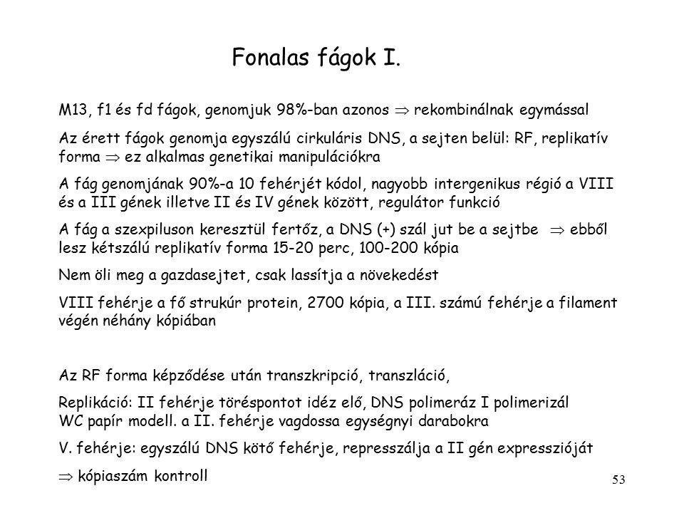53 Fonalas fágok I. M13, f1 és fd fágok, genomjuk 98%-ban azonos  rekombinálnak egymással Az érett fágok genomja egyszálú cirkuláris DNS, a sejten be