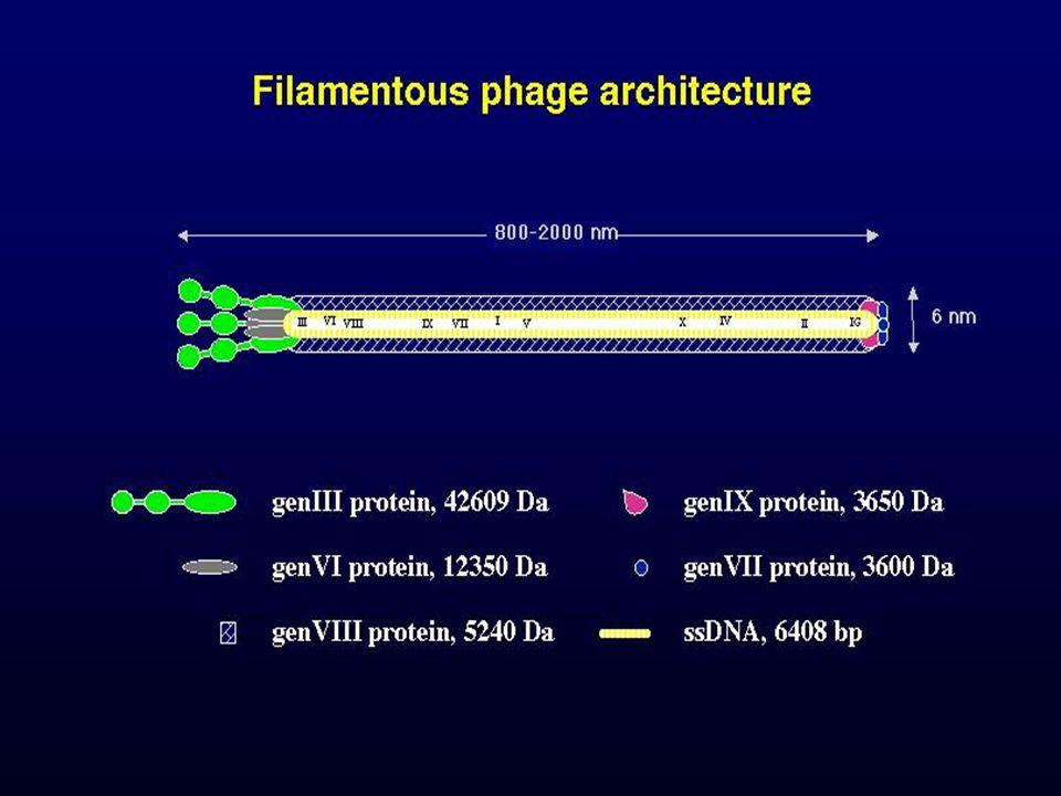 58 Epitóp könyvtár készítése, fág display vektorok gVIII (vagy gIII) gén (NNN) x X : 6 vagy hosszabb