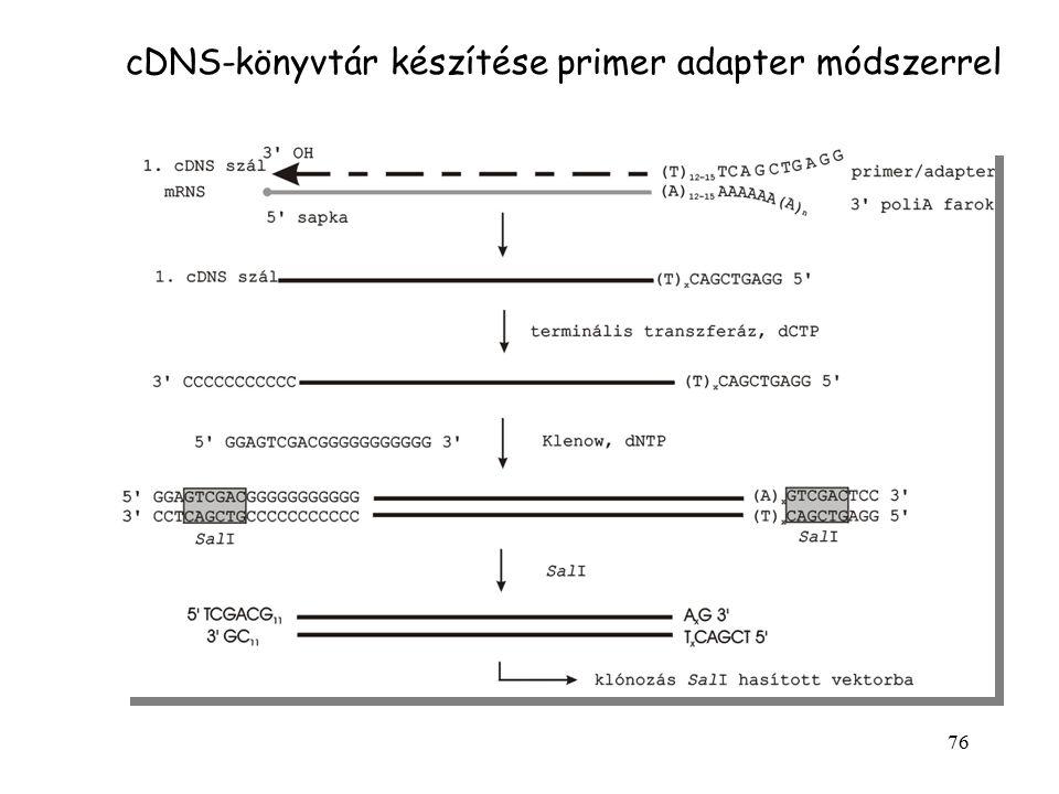 76 cDNS-könyvtár készítése primer adapter módszerrel