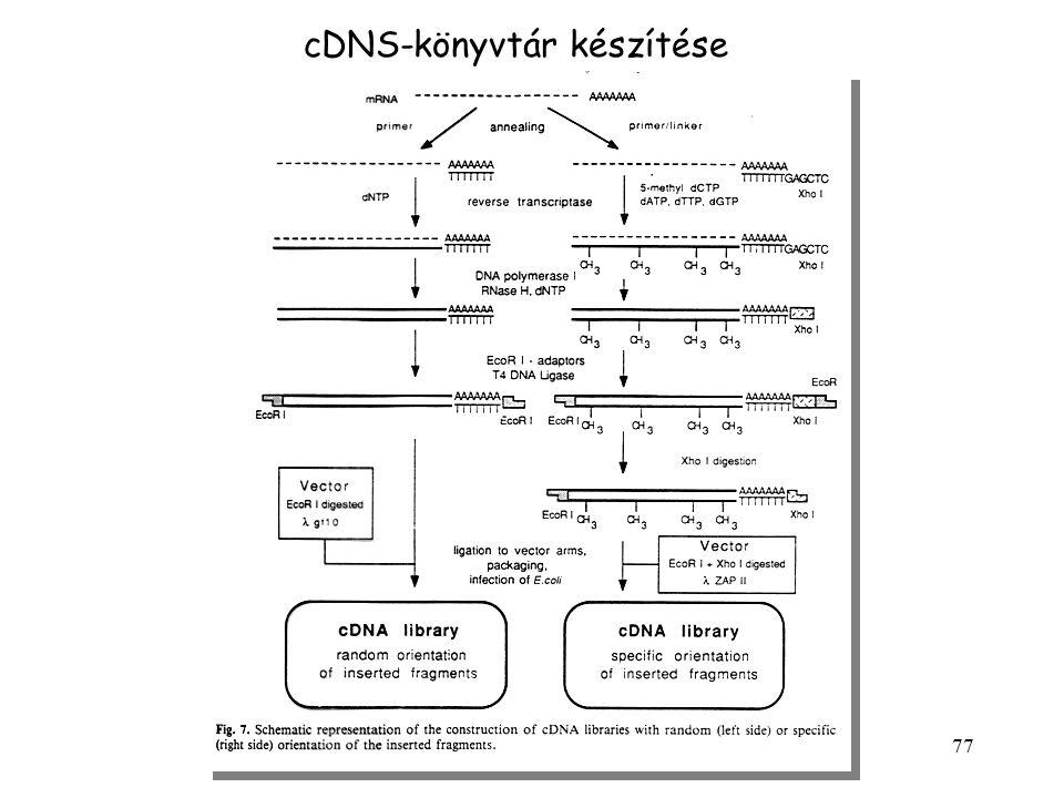 77 cDNS-könyvtár készítése