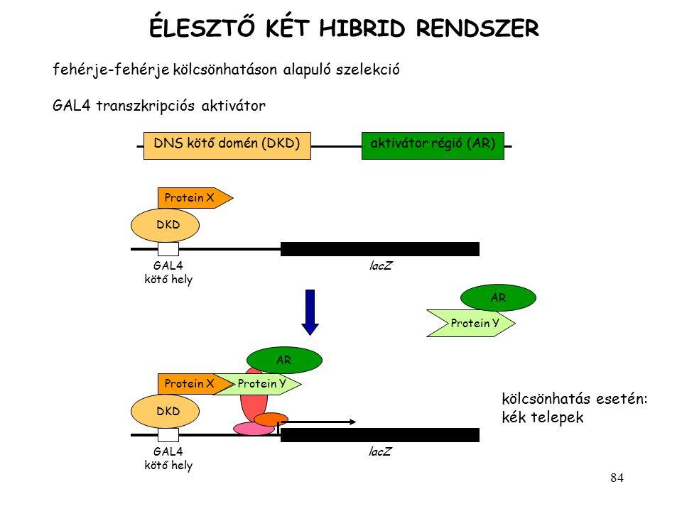 84 ÉLESZTŐ KÉT HIBRID RENDSZER fehérje-fehérje kölcsönhatáson alapuló szelekció GAL4 transzkripciós aktivátor aktivátor régió (AR)DNS kötő domén (DKD)