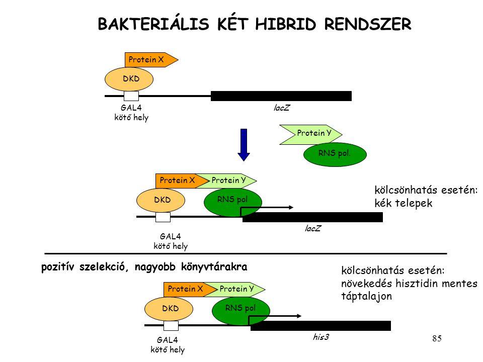 85 BAKTERIÁLIS KÉT HIBRID RENDSZER lacZGAL4 kötő hely DKD Protein X Protein Y RNS pol. pozitív szelekció, nagyobb könyvtárakra GAL4 kötő hely his3 DKD