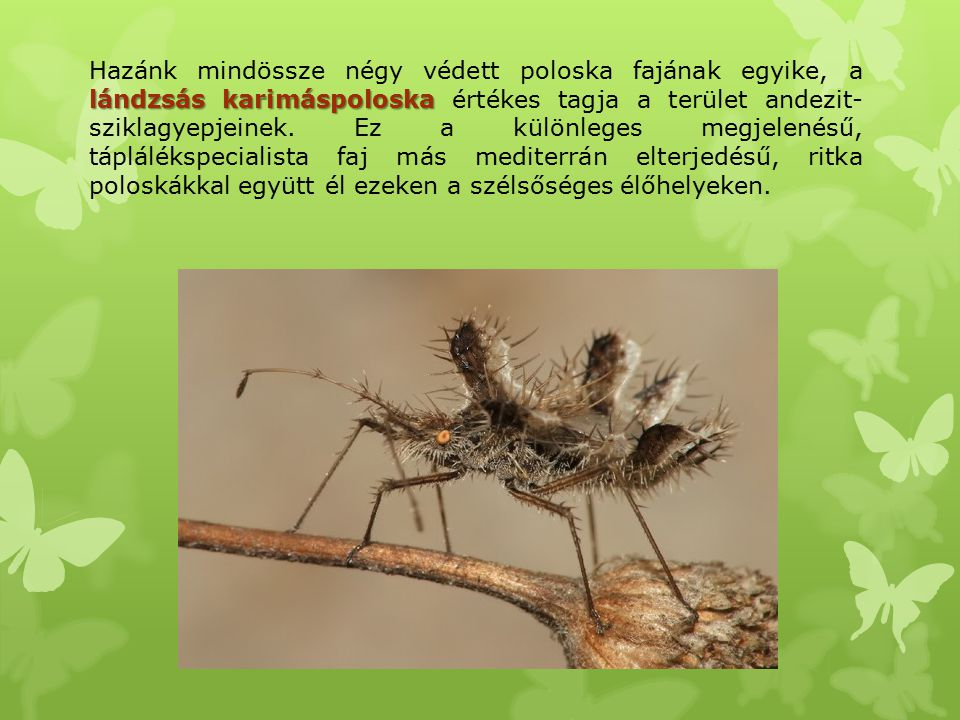 lándzsás karimáspoloska Hazánk mindössze négy védett poloska fajának egyike, a lándzsás karimáspoloska értékes tagja a terület andezit- sziklagyepjein
