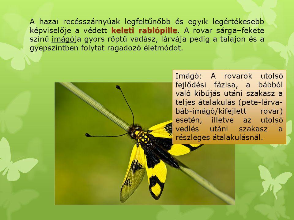 keleti rablópille A hazai recésszárnyúak legfeltűnőbb és egyik legértékesebb képviselője a védett keleti rablópille. A rovar sárga–fekete színű imágój