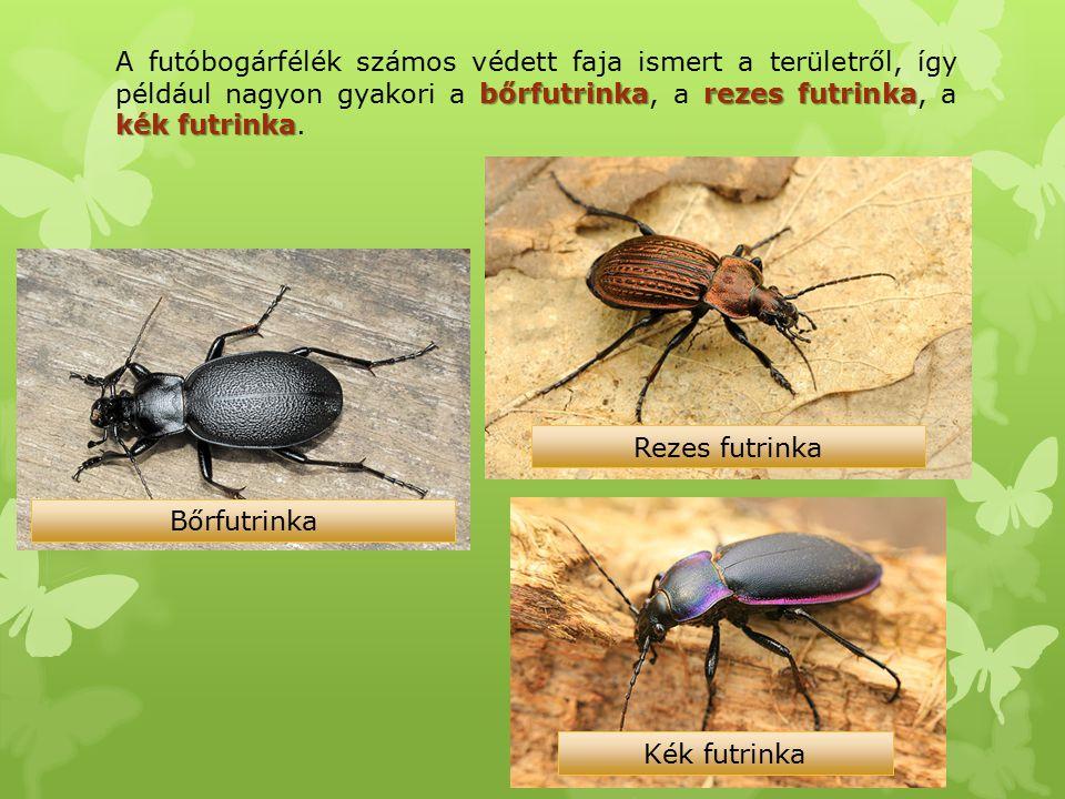 bőrfutrinkarezes futrinka kék futrinka A futóbogárfélék számos védett faja ismert a területről, így például nagyon gyakori a bőrfutrinka, a rezes futr