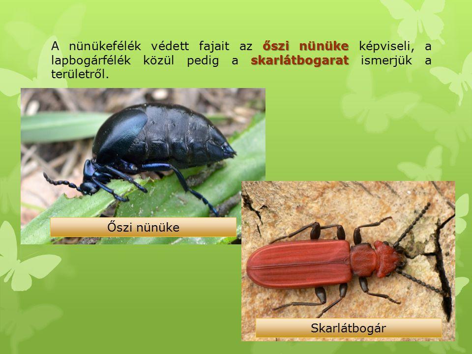 őszi nünüke skarlátbogarat A nünükefélék védett fajait az őszi nünüke képviseli, a lapbogárfélék közül pedig a skarlátbogarat ismerjük a területről. Ő