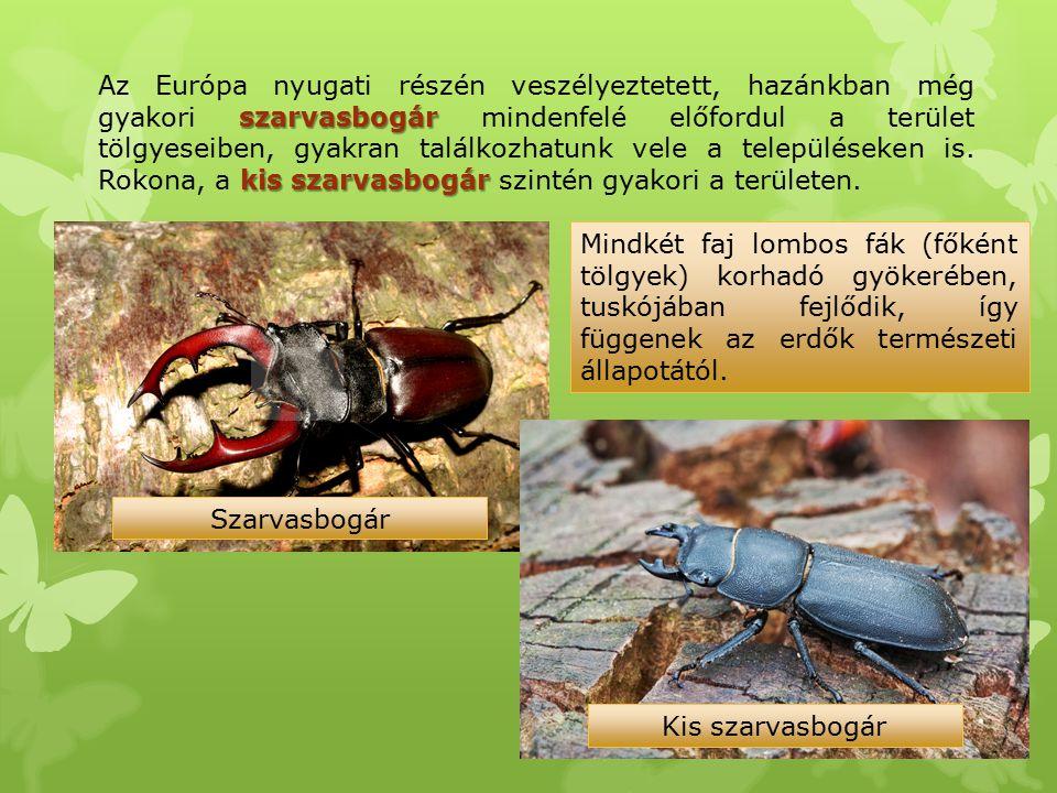 szarvasbogár kis szarvasbogár Az Európa nyugati részén veszélyeztetett, hazánkban még gyakori szarvasbogár mindenfelé előfordul a terület tölgyeseiben
