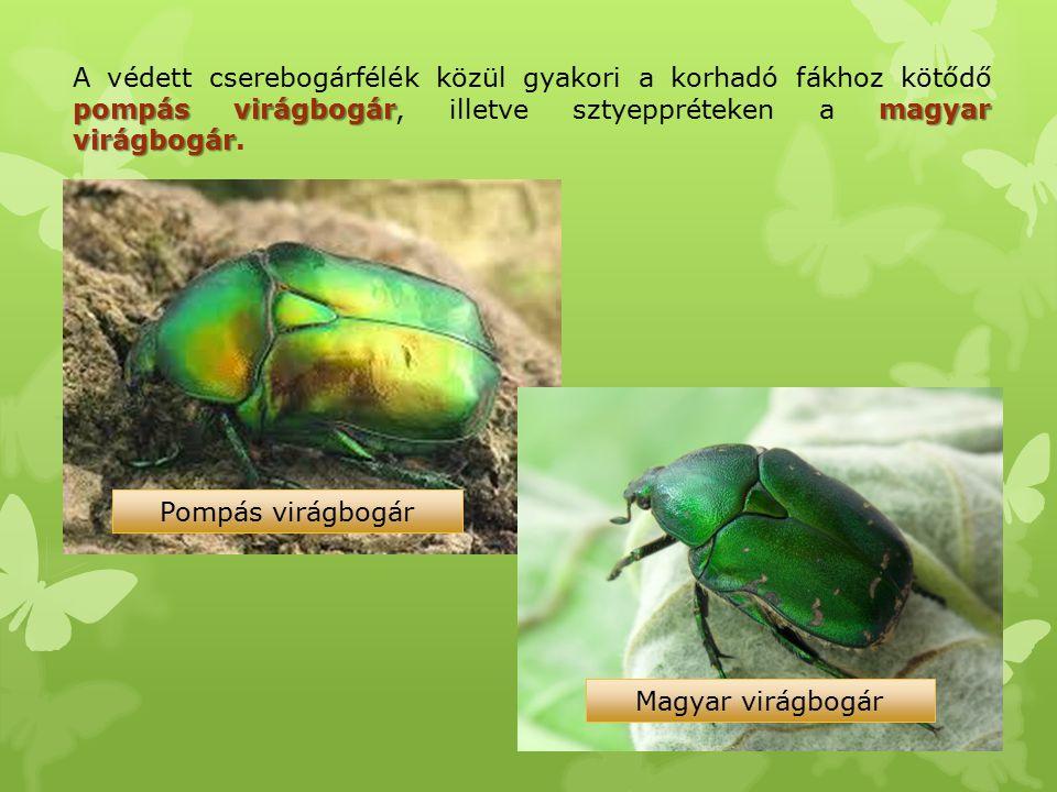 pompás virágbogármagyar virágbogár A védett cserebogárfélék közül gyakori a korhadó fákhoz kötődő pompás virágbogár, illetve sztyeppréteken a magyar v