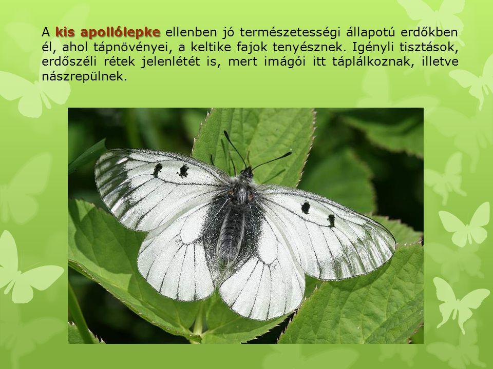 kis apollólepke A kis apollólepke ellenben jó természetességi állapotú erdőkben él, ahol tápnövényei, a keltike fajok tenyésznek. Igényli tisztások, e