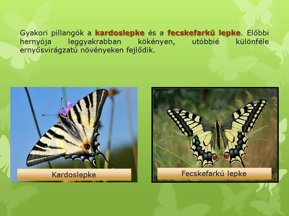 kardoslepkefecskefarkú lepke Gyakori pillangók a kardoslepke és a fecskefarkú lepke. Előbbi hernyója leggyakrabban kökényen, utóbbié különféle ernyősv