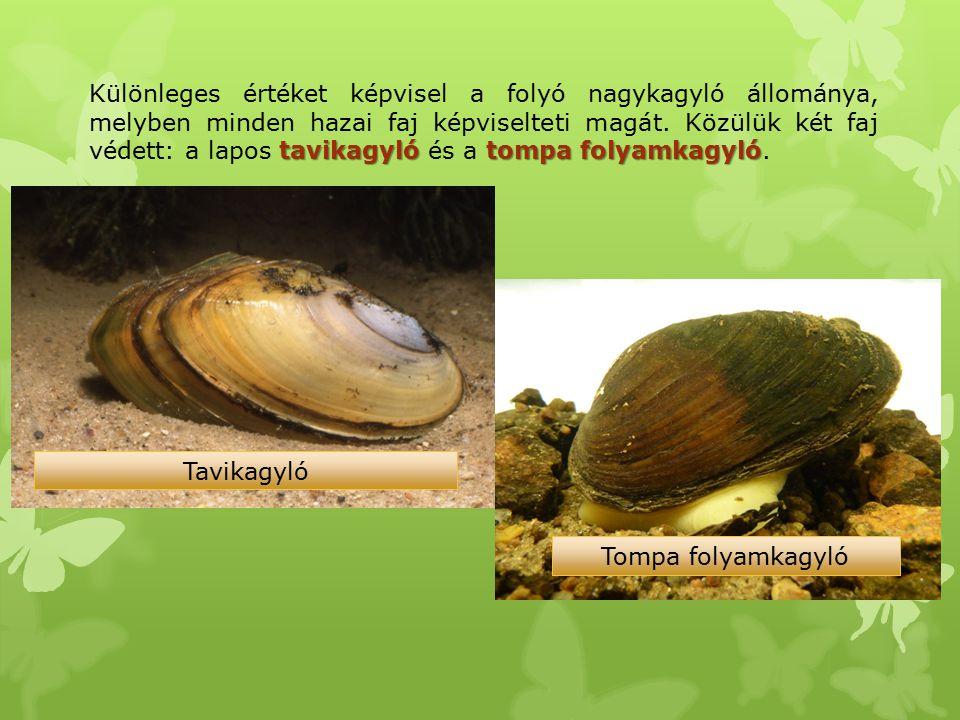 tavikagyló tompa folyamkagyló Különleges értéket képvisel a folyó nagykagyló állománya, melyben minden hazai faj képviselteti magát. Közülük két faj v