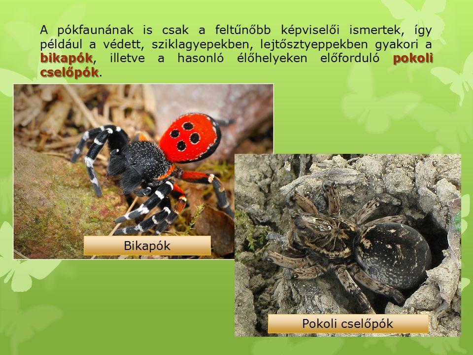 bikapókpokoli cselőpók A pókfaunának is csak a feltűnőbb képviselői ismertek, így például a védett, sziklagyepekben, lejtősztyeppekben gyakori a bikap