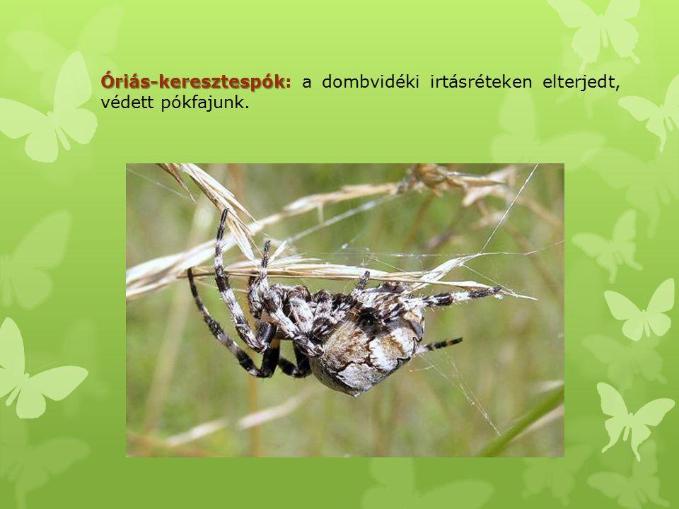 Óriás-keresztespók Óriás-keresztespók: a dombvidéki irtásréteken elterjedt, védett pókfajunk.