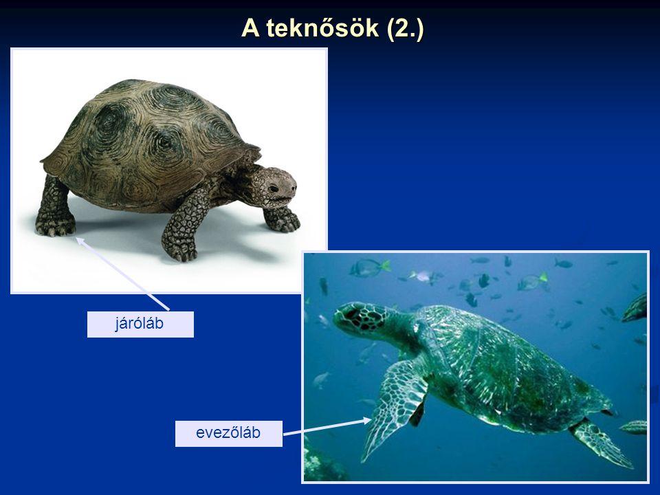 A teknősök (2.) járóláb evezőláb
