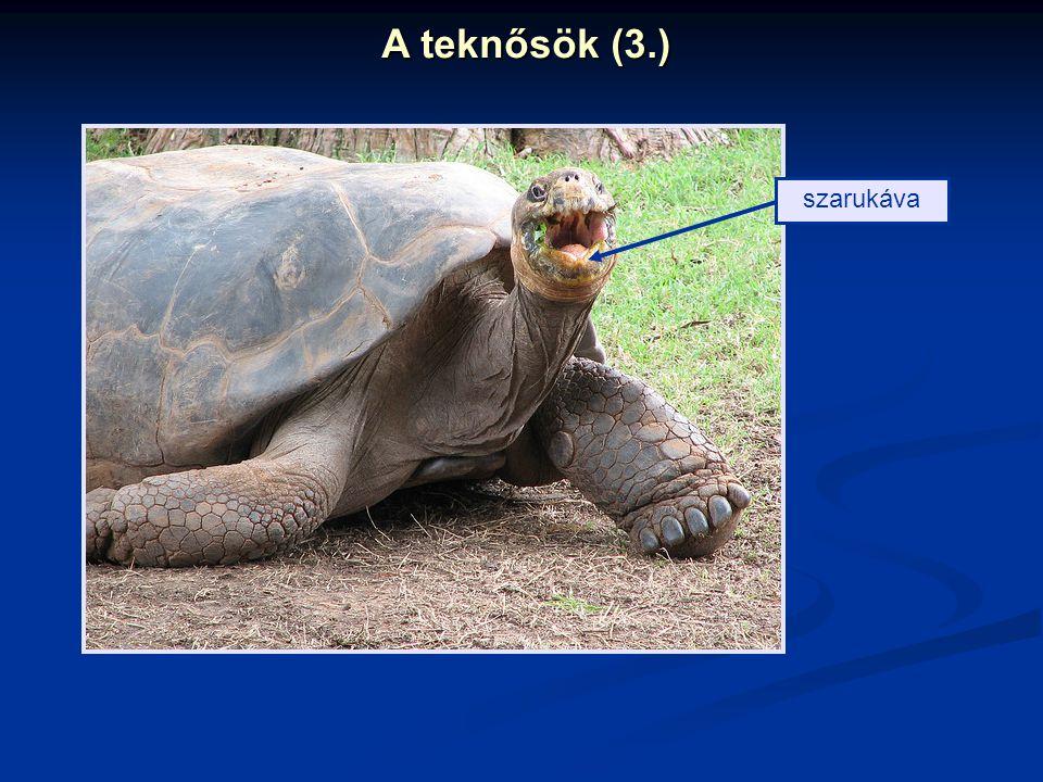 A teknősök (3.) szarukáva