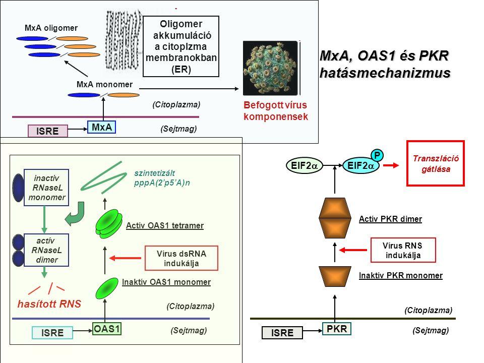 Oligomer akkumuláció a citoplzma membranokban (ER) (Sejtmag) (Citoplazma) ISRE MxA MxA monomer MxA oligomer Befogott vírus komponensek (Sejtmag) (Citoplazma) ISRE OAS1 Inaktív OAS1 monomer Vírus dsRNA indukálja Actív OAS1 tetramer szintetizált pppA(2'p5'A)n inactiv RNaseL monomer actív RNaseL dimer hasított RNS (Sejtmag) (Citoplazma) ISRE PKR Inaktív PKR monomer Actív PKR dimer Vírus RNS indukálja EIF2  P Transzláció gátlása MxA, OAS1 és PKR hatásmechanizmus