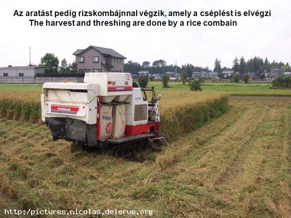 Sík területeken már géppel végzik az ültetést In lowlands do the planting by machines