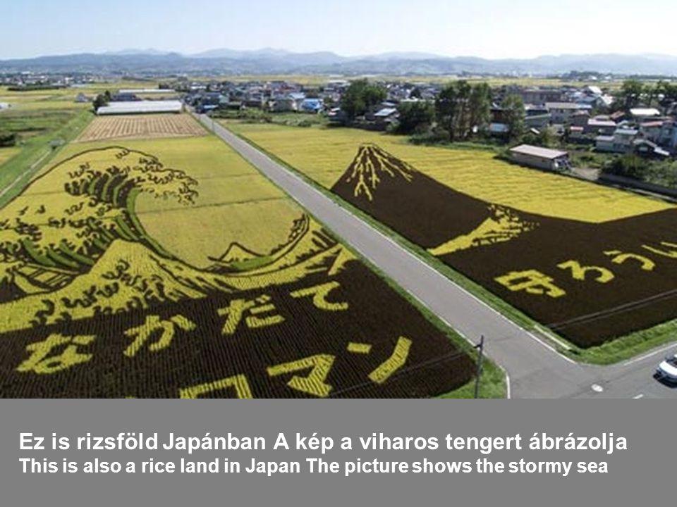 Az aratást pedig rizskombájnnal végzik, amely a cséplést is elvégzi The harvest and threshing are done by a rice combain