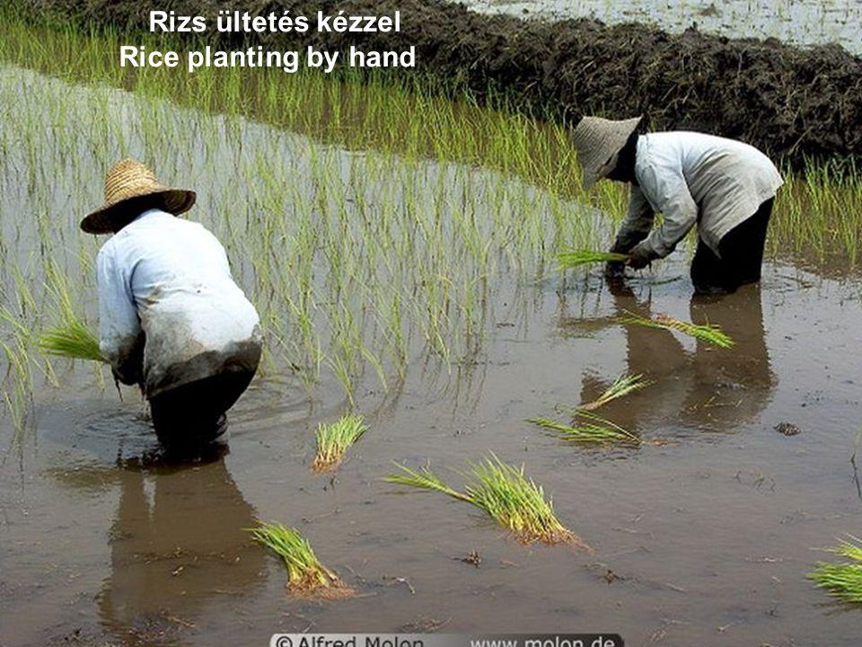 A teraszos termesztés ma is nehéz kézi munkát igényel Nowadays terrace cultivation is a hard work by hand, too.