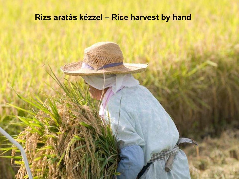 Rizs ültetés kézzel Rice planting by hand