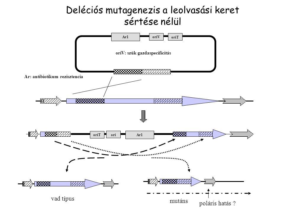Ar1 ori Ar1 oriV vad típus mutáns poláris hatás ? Deléciós mutagenezis a leolvasási keret sértése nélül oriV: szűk gazdaspecificitás oriT Ar: antibiot