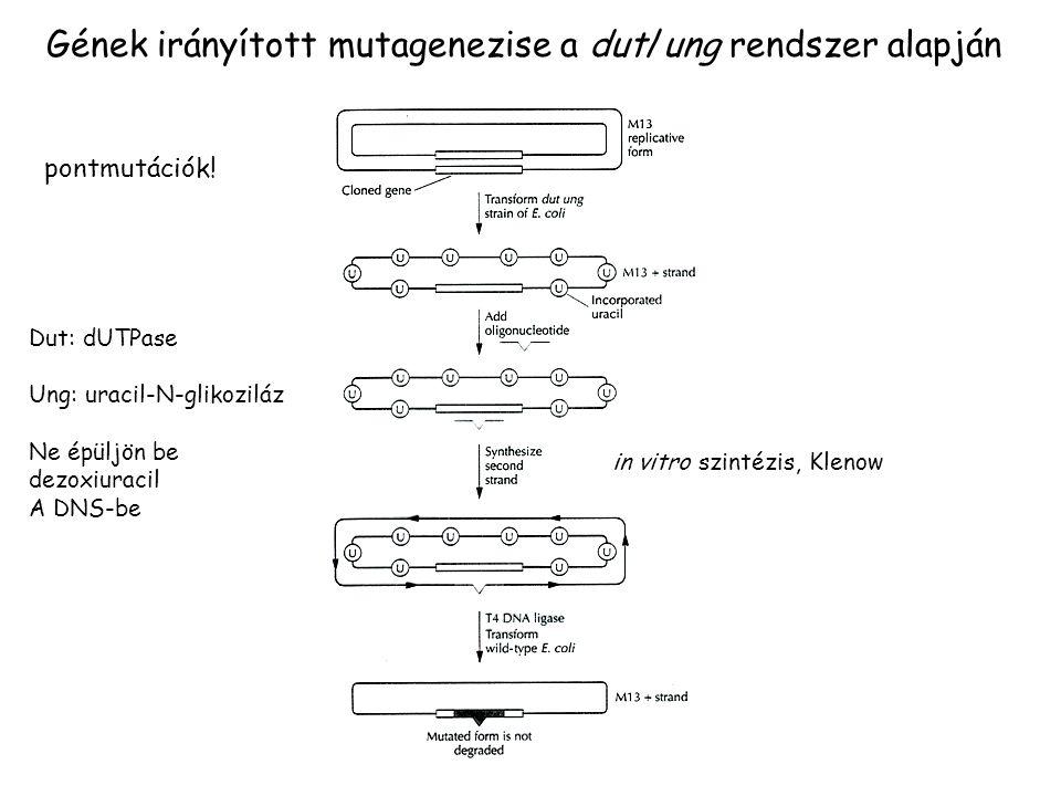 Gének irányított mutagenezise a dut/ung rendszer alapján Dut: dUTPase Ung: uracil-N-glikoziláz Ne épüljön be dezoxiuracil A DNS-be in vitro szintézis,