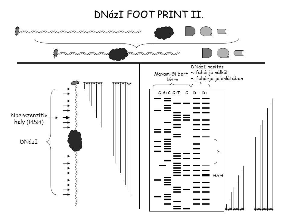 DNázI FOOT PRINT II. DNázI G A+G C+T C D- D+ Maxam-Gilbert létra DNázI hasítás -: fehérje nélkül +: fehérje jelenlétében hiperszenzitív hely (HSH) HSH