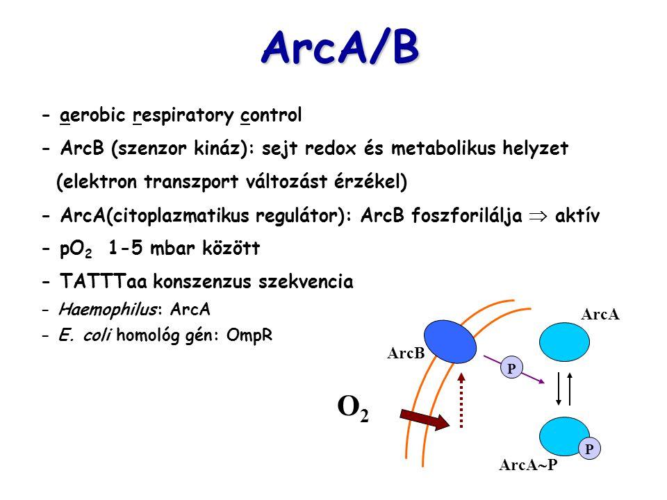 ArcA/B - aerobic respiratory control - ArcB (szenzor kináz): sejt redox és metabolikus helyzet (elektron transzport változást érzékel) - ArcA(citoplaz