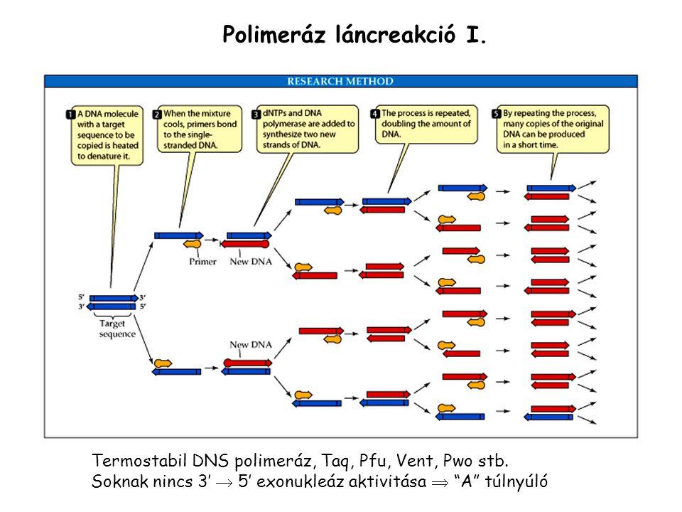 """Polimeráz láncreakció I. Termostabil DNS polimeráz, Taq, Pfu, Vent, Pwo stb. Soknak nincs 3'  5' exonukleáz aktivitása  """"A"""" túlnyúló"""