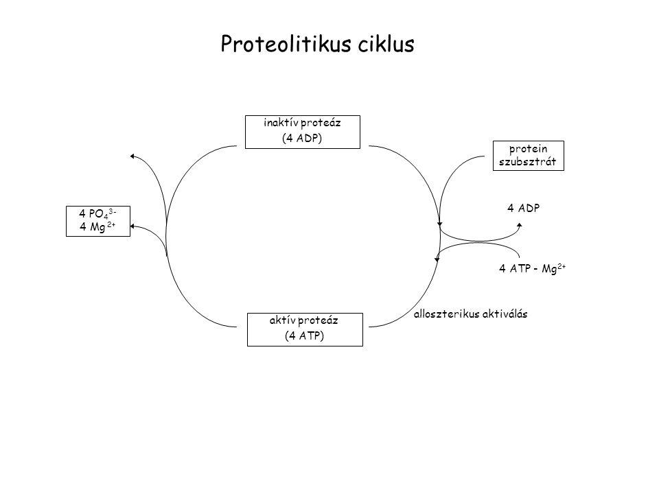 inaktív proteáz (4 ADP) protein szubsztrát 4 ADP 4 ATP - Mg 2+ alloszterikus aktiválás aktív proteáz (4 ATP) 4 PO 4 3- 4 Mg 2+ Proteolitikus ciklus