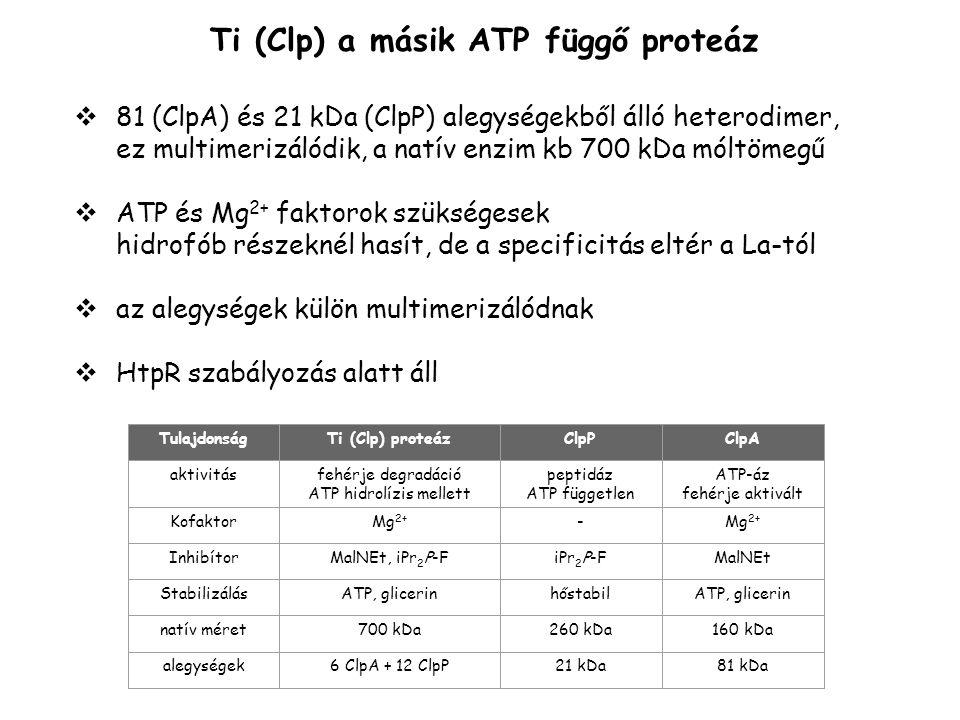 Ti (Clp) a másik ATP függő proteáz  81 (ClpA) és 21 kDa (ClpP) alegységekből álló heterodimer, ez multimerizálódik, a natív enzim kb 700 kDa móltömeg