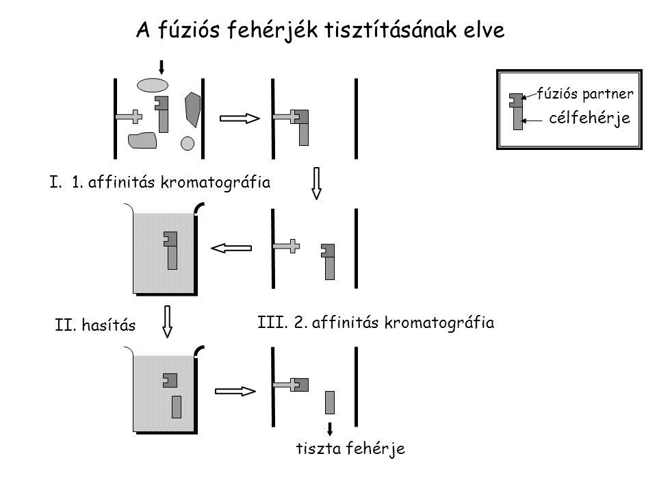 A fúziós fehérjék tisztításának elve I. 1. affinitás kromatográfia II. hasítás III. 2. affinitás kromatográfia tiszta fehérje fúziós partner célfehérj