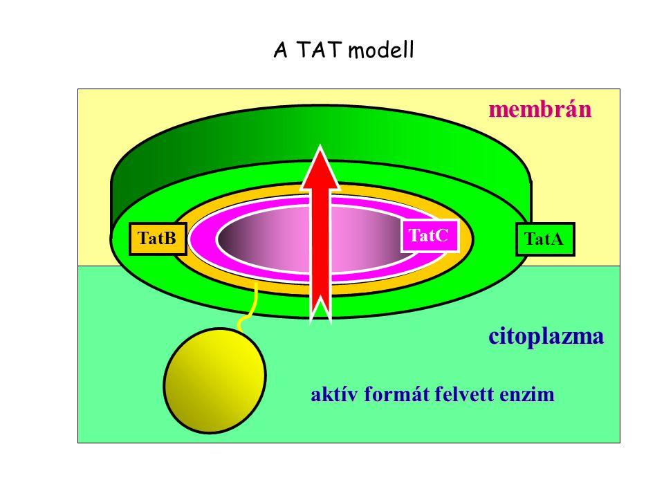 citoplazma TatC TatB TatA membrán aktív formát felvett enzim A TAT modell