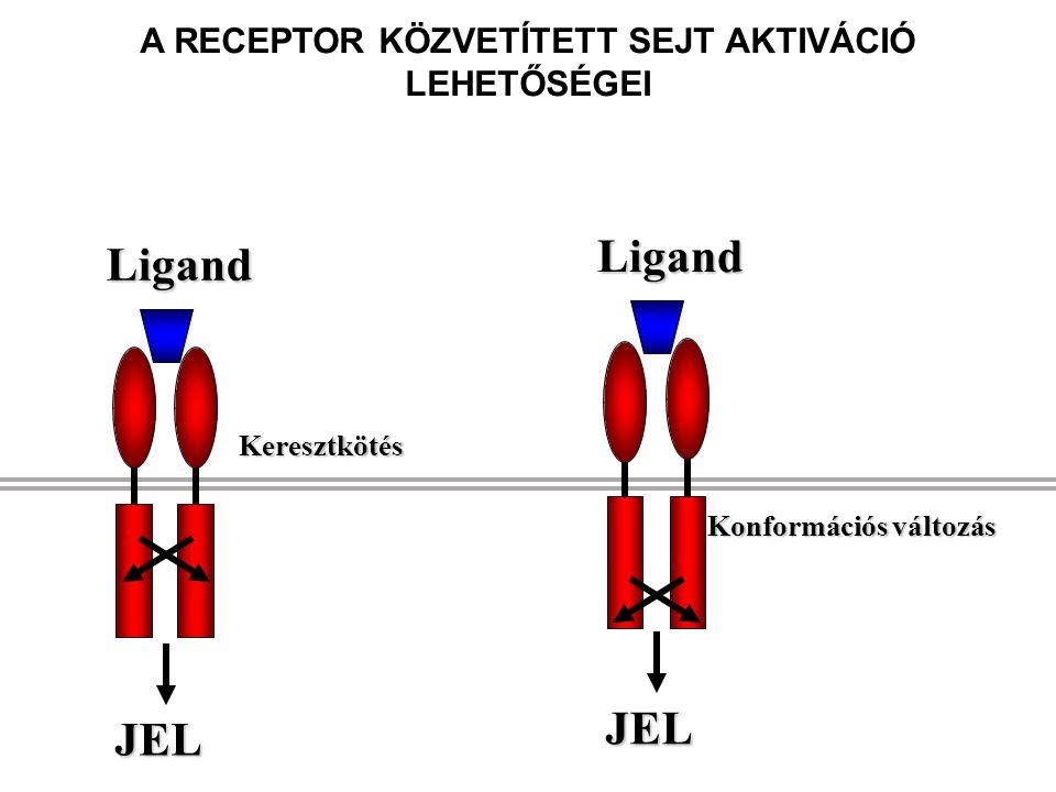 JEL ligand Kináz aktiváció Foszforiláció Adapterek toborzása A RECEPTOR KERESZTKÖTÉSE JELÁTVITELI KASZKÁDOT INDÍT EL Génátírás Transzkripciós faktorok aktiválása