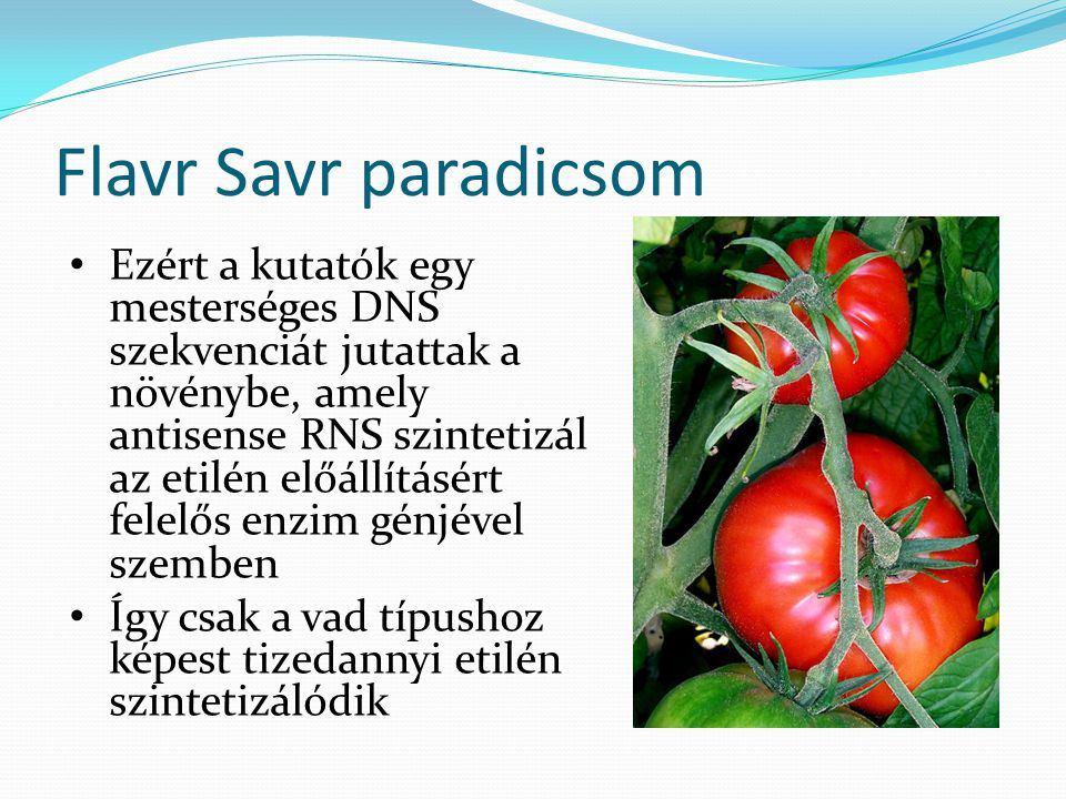 Flavr Savr paradicsom Ezért a kutatók egy mesterséges DNS szekvenciát jutattak a növénybe, amely antisense RNS szintetizál az etilén előállításért fel
