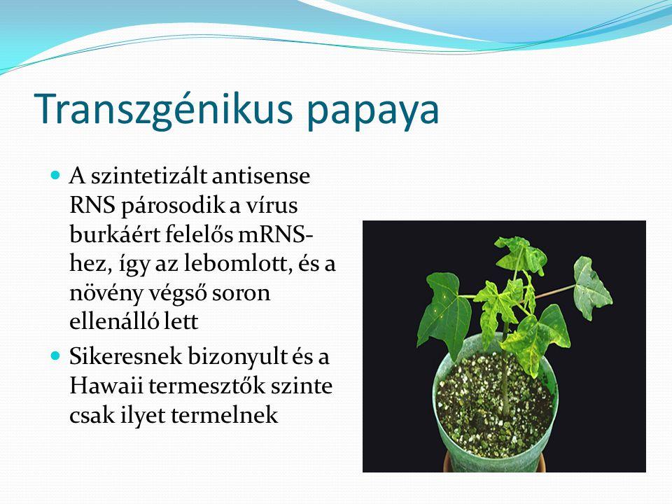 Transzgénikus papaya A szintetizált antisense RNS párosodik a vírus burkáért felelős mRNS- hez, így az lebomlott, és a növény végső soron ellenálló le