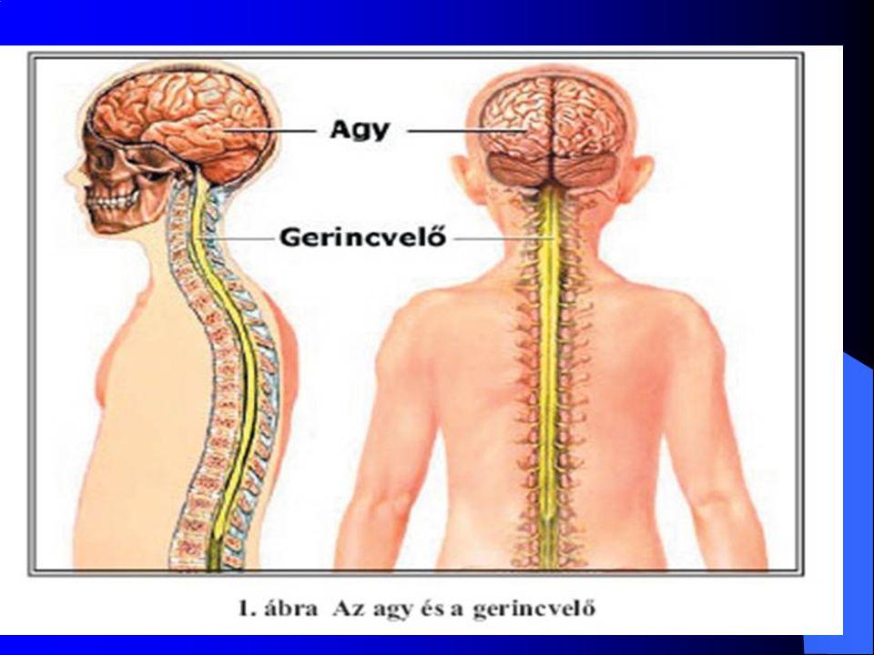 Élettani felosztás Vegetatív (akaratunktól független) idegrendszer Szimpatikus működés Paraszimpatikus működés Szomatikus idegrendszer (akaratunktól függő) Mozgató működés Érző működés