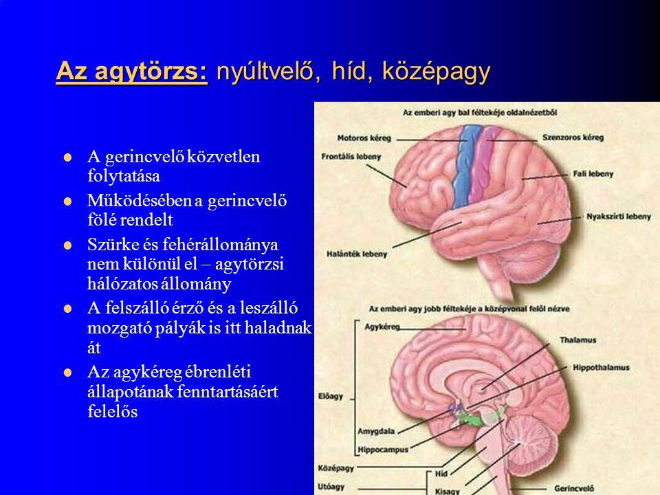 Az agytörzs: nyúltvelő, híd, középagy A gerincvelő közvetlen folytatása Működésében a gerincvelő fölé rendelt Szürke és fehérállománya nem különül el