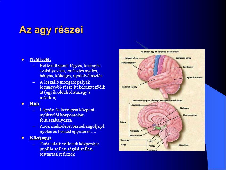 Az agy részei Nyúltvelő: –Reflexközpont: légzés, keringés szabályozása, emésztés nyelés, hányás, köhögés, nyálelválasztás –A leszálló mozgató pályák l