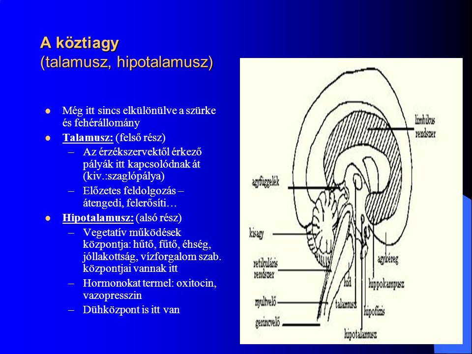 A köztiagy (talamusz, hipotalamusz) Még itt sincs elkülönülve a szürke és fehérállomány Talamusz: (felső rész) –Az érzékszervektől érkező pályák itt k
