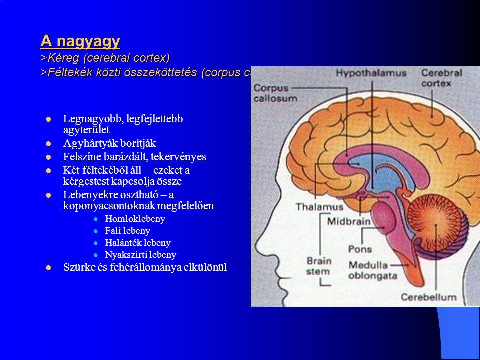A nagyagy >Kéreg (cerebral cortex) >Féltekék közti összeköttetés (corpus callosum) Legnagyobb, legfejlettebb agyterület Agyhártyák borítják Felszíne b